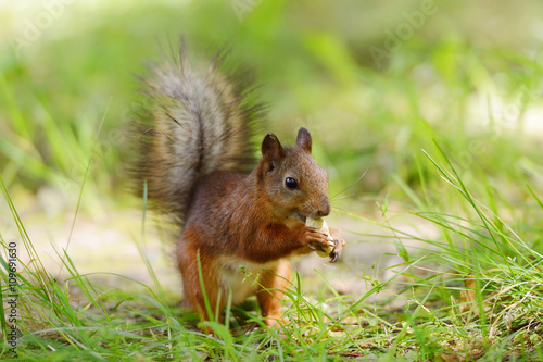Tuinposter Eekhoorn Squirrel sitting on a grass