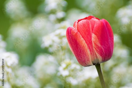 Zdjęcia na płótnie, fototapety, obrazy : Red tulip with bokeh. Tulip petals. Tulip detail