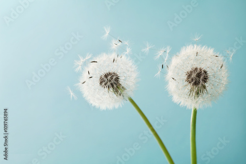 Fototapety, obrazy : Beautiful dandelion flowers with flying feathers on turquoise background, vintage card, macro