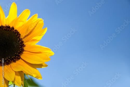 Zdjęcia na płótnie, fototapety, obrazy : Sonnenblume