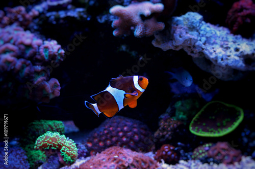 obraz PCV Clownfish Nemo in Marine reef aquarium