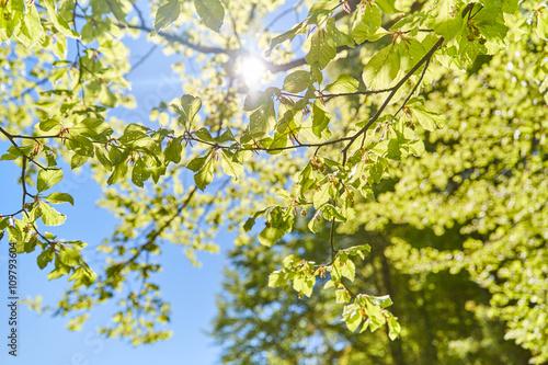 Fototapeta Sun shining through the leaves of a tree