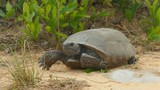 4K Gopher Tortoise (Gopherus polyphemus) 4