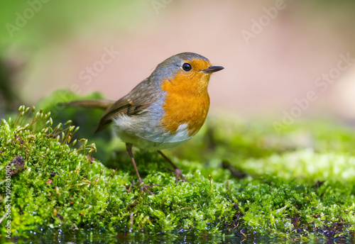 mata magnetyczna The Robin on the green Moss