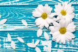 white daisies on the blue wooden background
