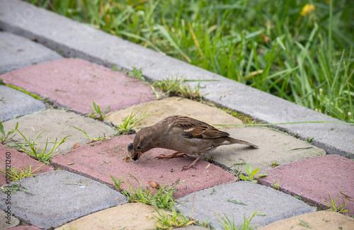 Zdjęcia na płótnie, fototapety, obrazy : Sparrow eating cockchafer. Pest management.