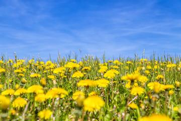 Field of blooming dandelions
