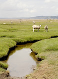 Salt Marsh Fields. On the Gower Peninsular in Wales is farming land that gets periodically flooded at high tides. The vegetation is salt tolerant and the sheep that graze there are quite content.