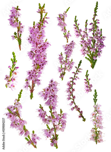 set of heather blossoms isolated on white
