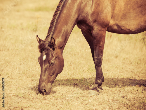 Closeup of majestic graceful brown horse