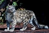 snow leopard close up portrait