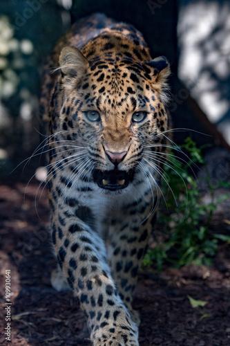 Fototapeta north chinese leopard close up