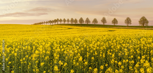 Spring field of green wheat, blooming rape, panorama