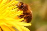 Pszczoła na mleczu - 109937826