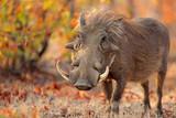Warthog (Phacochoerus africanus) in natural habitat, Kruger National Park, South Africa. - 109941053