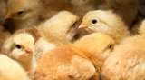 Baby Chicks Huddled Together for Safety and Warmth