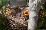 3 Baby Noisy Miner Birds squawking for food in a nest