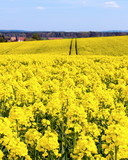 Frühling, Rapsblüten auf einem Feld (Brassica napus)