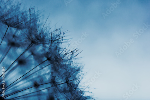 Dandelion abstract background.  Abstract macro photo of plant seeds with water drops