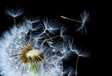 Dandelion blowing in black background © bessi7