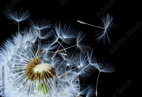Dandelion blowing in black background - 110057014