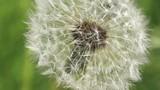 Dandelion in summer garden. Macro shot.
