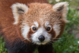 red panda close up portrait