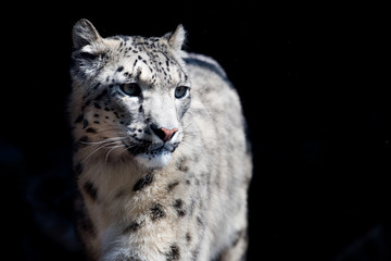 snow leopard close up portrait © Andrea Izzotti