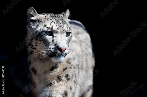 snow leopard close up portrait