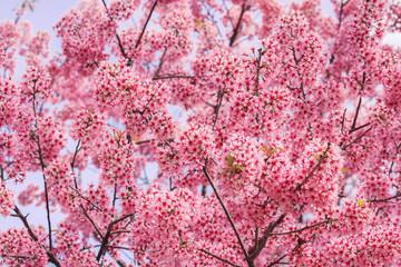 Beautiful pink Sakura flower blooming