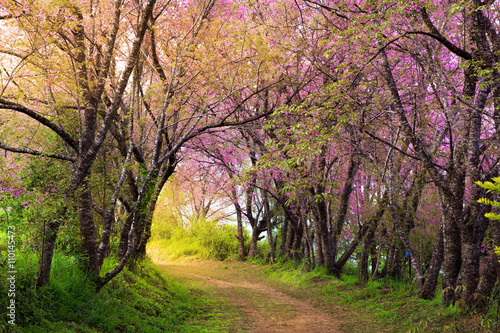 Papiers peints Route dans la forêt cherry blossom pink sakura in Thailand and a footpath leading in
