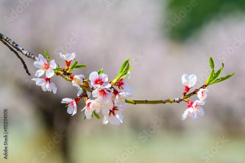 Poster Closeup of a blossoming almond tree in full bloom