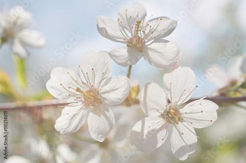 White cherry blossom © vinbergv