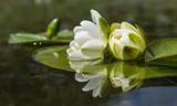 nilüfer çiçekleri ve yansımaları