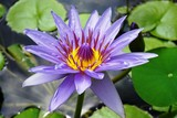 Purple lotus aquatic waterlily flowers in a pond in Hawaii