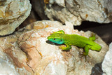 lizard without a tail (Lacerta viridis)