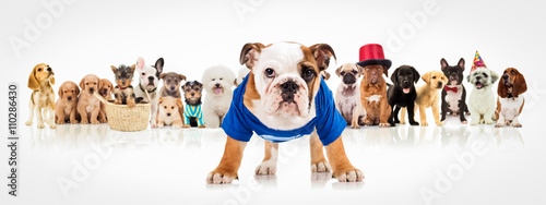 Deurstickers Franse bulldog english bulldog standing in front of dogs pack