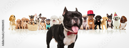 Deurstickers Franse bulldog french bulldog sticking out tongue in front of dogs pack