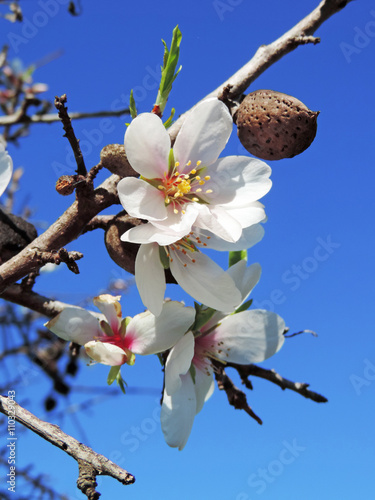 Poster Almond tree with almond flowers or blossoms