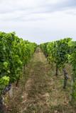 Row of vines at vineyard