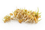 Sprouted wheat on a white background