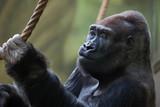 Western lowland gorilla (Gorilla gorilla gorilla).