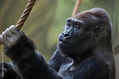Poster Western lowland gorilla (Gorilla gorilla gorilla).