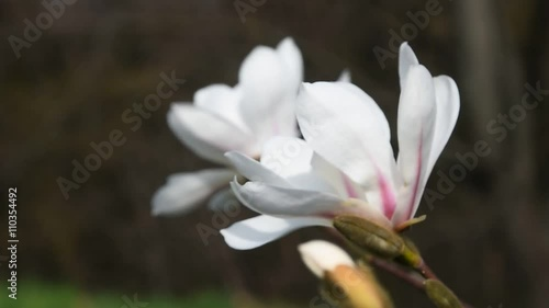 Zdjęcia na płótnie, fototapety, obrazy : Two white magnolia flowers with new buds tremble in the wind over background green grass and trees, side view, close up, focusing in, Full HD 1080