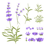 Fototapety Lavender flowers vector elements. Illustration constructor for greeting cards and invitations