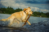 Golden Retriever dog running in shallow water with large stick
