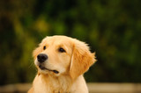 Head shot of Golden Retriever puppy against green trees