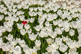 Lots of white tulip and a red