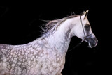 portrait of running arabian horse at black background - 110370081