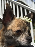 Chihuahua with Lily of the Valley on Head